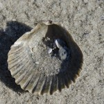 seashell-224374_640